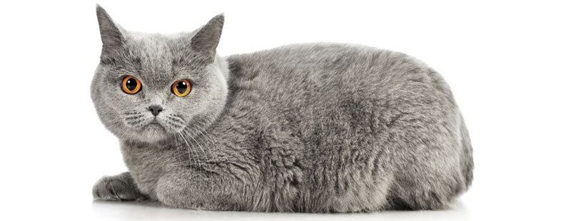 Cat Breed Guide: The British Shorthair