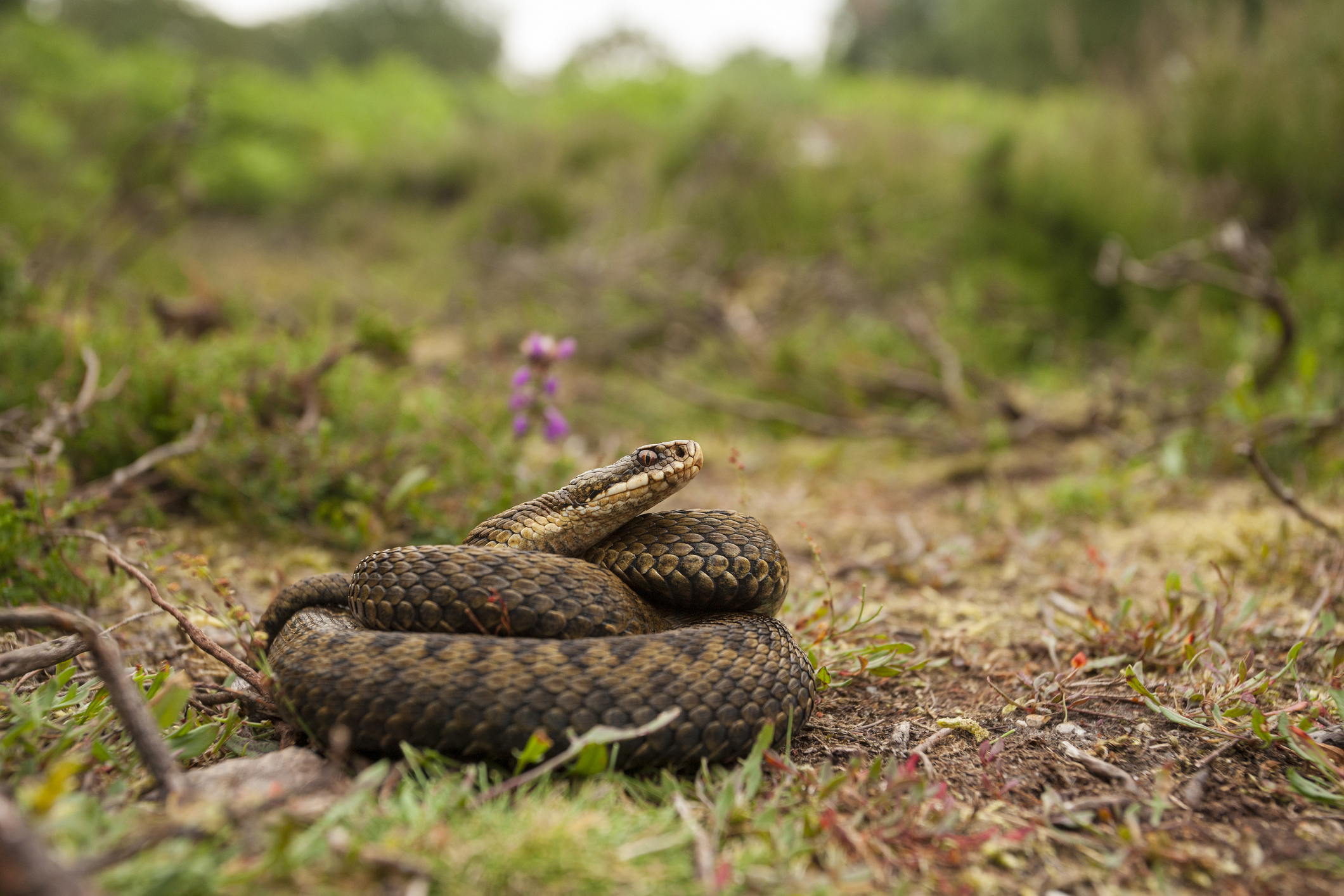 Adder coiled up on the heathland