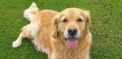Keltie the Golden Retriever