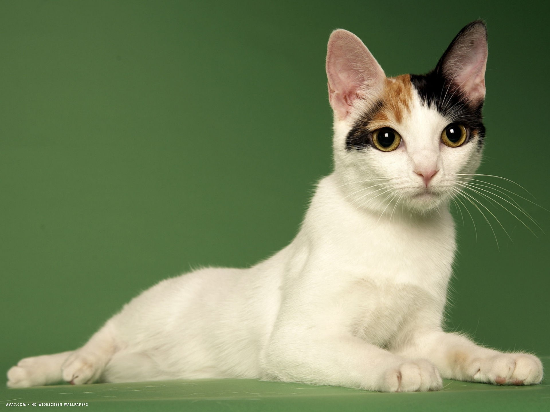 What Are The Most Vocal Cat Breeds Animal Friends