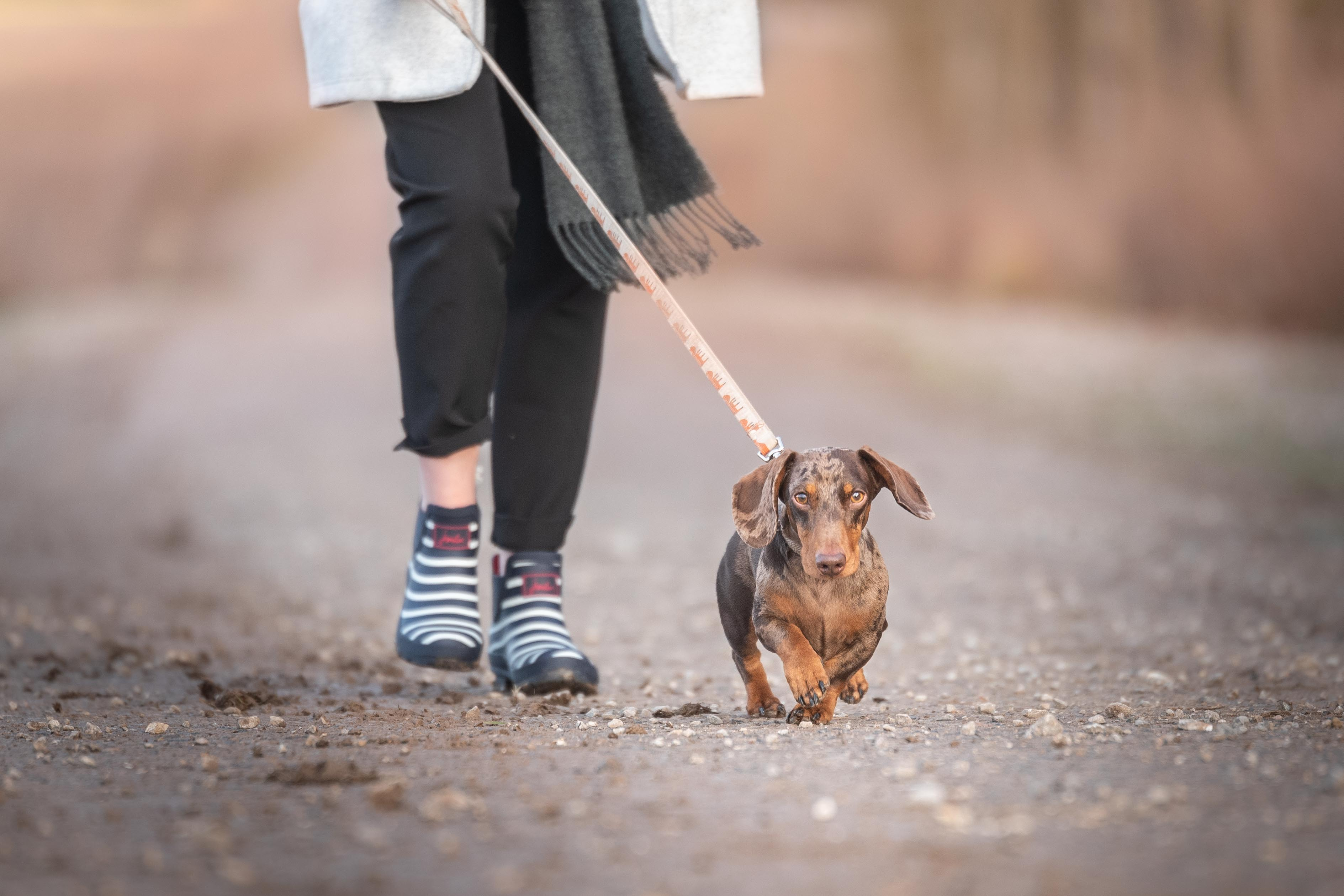 a miniature dachshund being walked by its owner