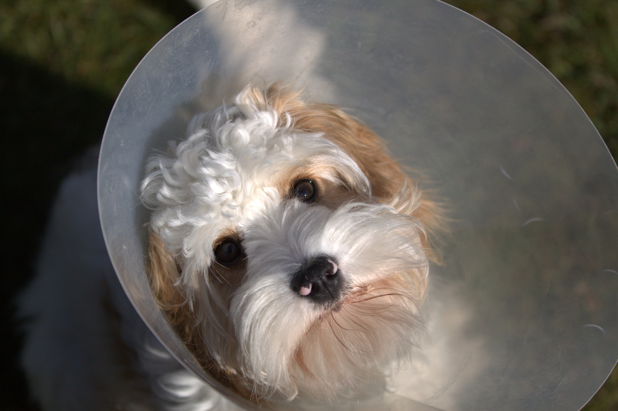dog in a cone following surgery