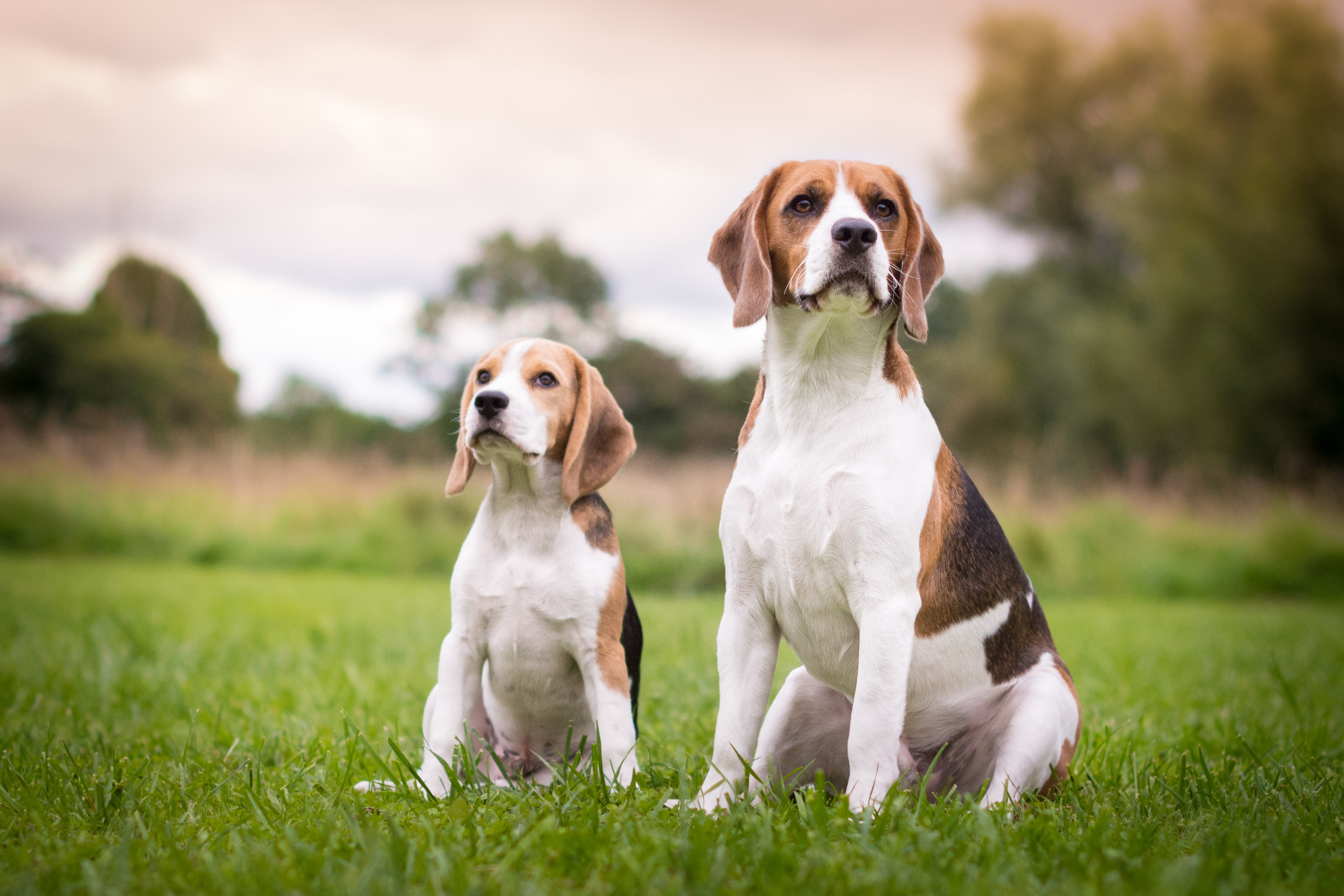 two beagles sitting in a field